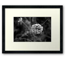 Wild carrot  Framed Print