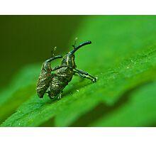 snout beetle Photographic Print