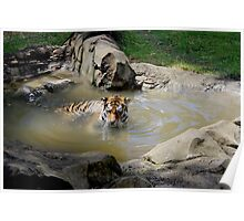 Swimming Tiger Poster