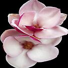 tulip magnolia twins (black bg square) by dedmanshootn