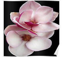tulip magnolia twins (black bg square) Poster