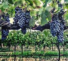 Shiraz on the Vine by yolanda