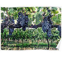 Shiraz on the Vine Poster