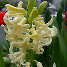 Singing jingle hyacinth by Ana Belaj