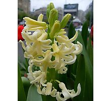 Singing jingle hyacinth Photographic Print