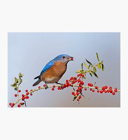 Bluebird Eating Berries Photographic Print