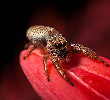 Jumping Spider on pink flower. by loki1982