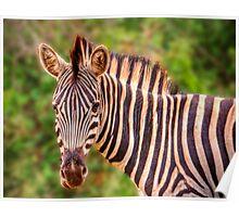 Burchell's Zebra Poster