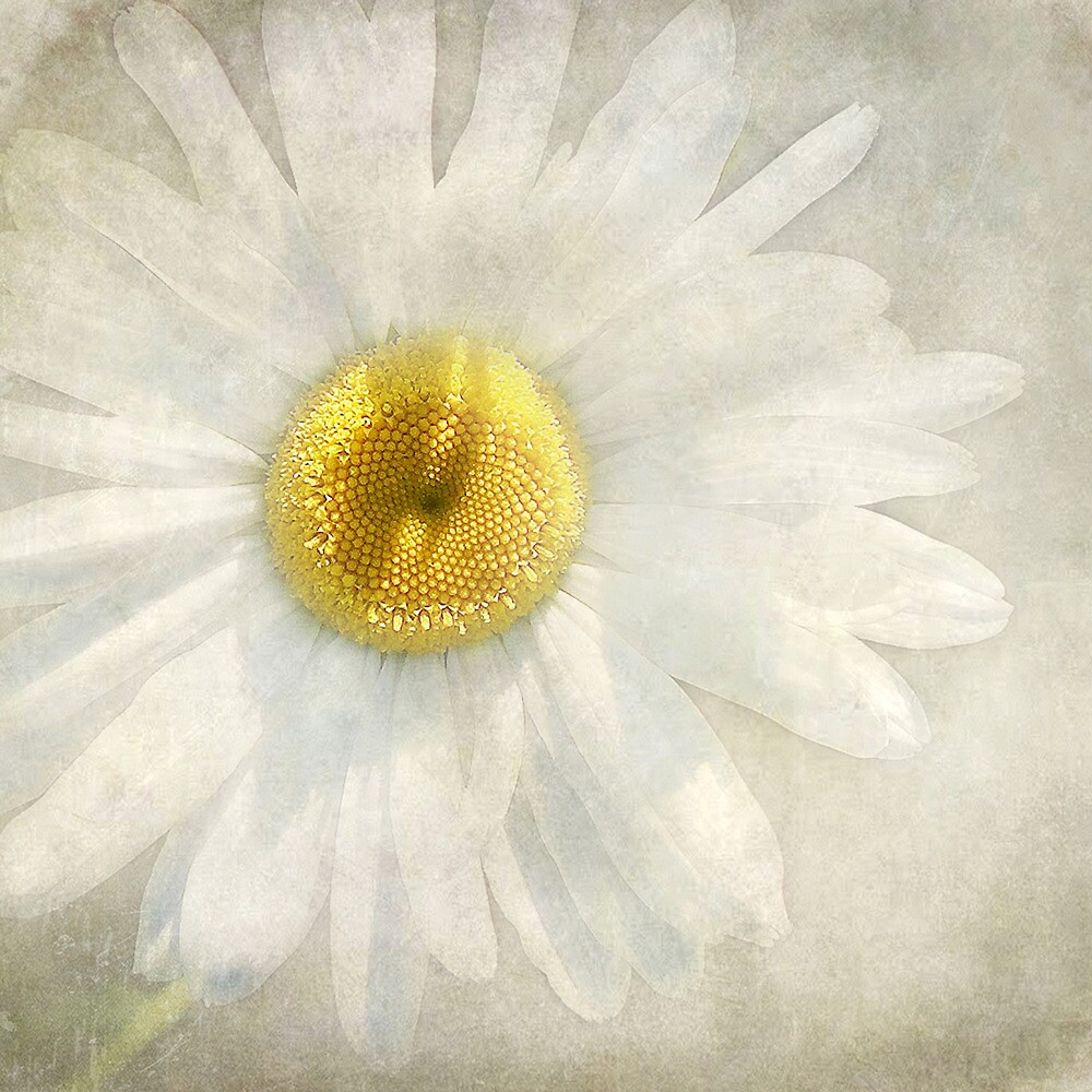 Wintry Daisy by Kathilee