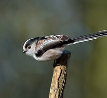 Long tailed tit - IV (Aegithalos caudatus) by Peter Wiggerman