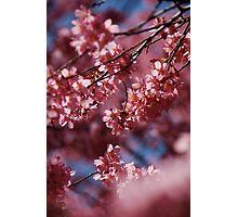 Cherry Blossom Tree Photographic Print