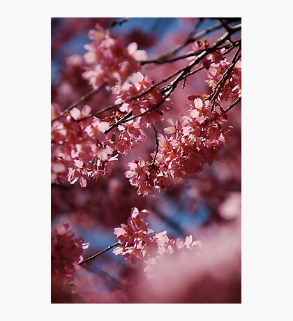 Cherry Blossom Tree Photographic Print
