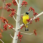 Lesser Goldfinch In Early Spring by Diana Graves Photography