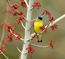 Lesser Goldfinch In Early Spring by K D Graves Photography