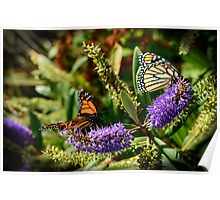 Monarchs on Hebe Flowers Poster