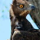 MARTIAL EAGLE - _*Polemaeus bellicosus* – *BREEKOPAREND* by Magaret Meintjes