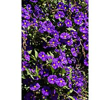 Purple Blossoms Photographic Print