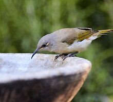 Singing HoneyEaters Bath by GrannyMay