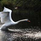 Swan Take off 2 by Peter Barrett