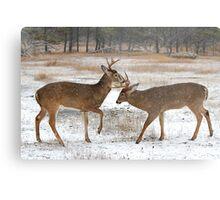 Battle of the Big Bucks - White-tailed deer Metal Print