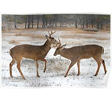 Battle of the Big Bucks - White-tailed deer Poster