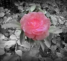 Pink Rose by ALNemic