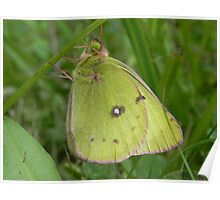 Clouded Sulfur Butterfly Poster