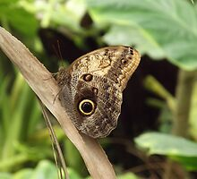 Owl Butterfly by zantern