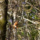 Red Squirrel by Sue Fallon Photography