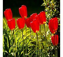 tulip impressions (square) Photographic Print