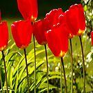 tulip impressions by dedmanshootn