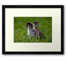 ducklings By Ken Killeen Framed Print