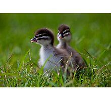 ducklings By Ken Killeen Photographic Print