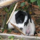 Our Beautiful Patrick as a Puppy by Dennis Melling