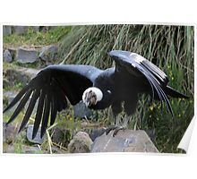Male Andean Condor With Spread Wings Poster
