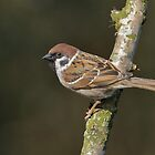 Tree sparrow - I ( Passer montanus) by Peter Wiggerman