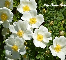 White Wild Roses  by mistyt