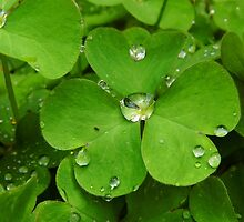 Drops On The Shamrock Leaves by WildestArt
