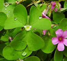Oxalis by WildestArt