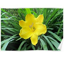 yellow daylilly Poster