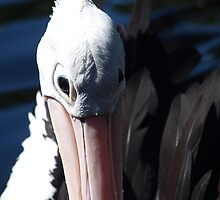 Pelican Eyes by kalaryder
