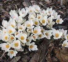 Springtime Abundance - a Bouquet of Pure White Crocuses by Georgia Mizuleva