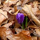 A Baby Crocus by WildestArt