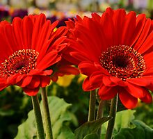 Grand Gerbera Daisies by Scott Mitchell