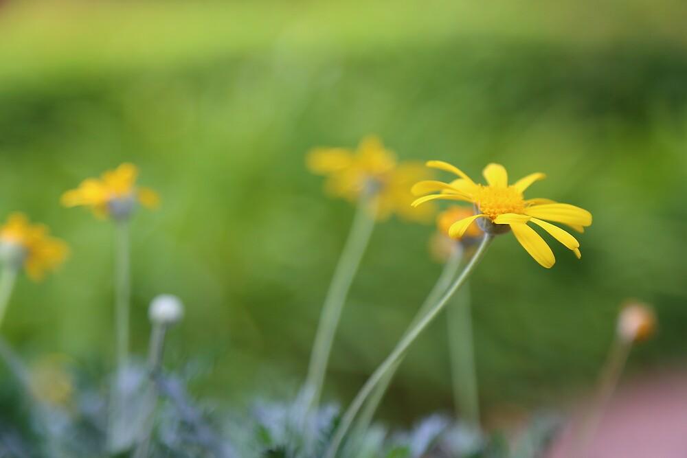 Daisy by Keith G. Hawley