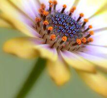 Osteospermum by Karosh