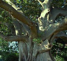 Fig Tree by jimrac