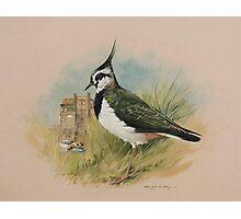 Lapwing at Blakeney, Norfolk Photographic Print