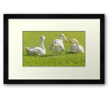 Group of White Geese Resting on the Grass Framed Print