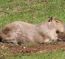 Sunbathing Capybara by stine1